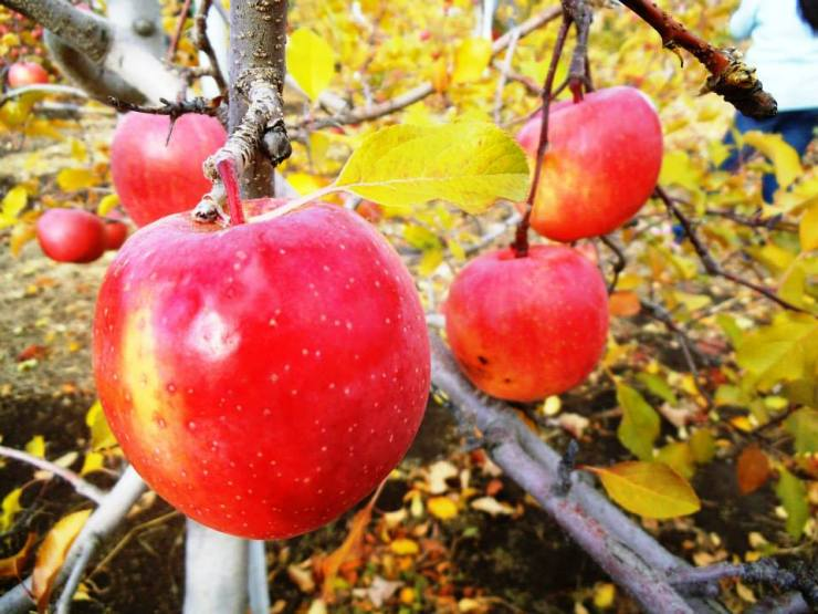 The right way to pick an apple: Just turn it upside down and it will naturally snap off the branch.